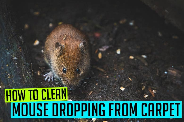 How to clean mouse dropping from carpet
